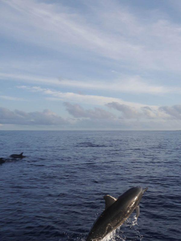 Delfine Malediven