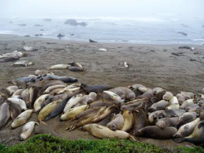 Seelöwen in San Simeon