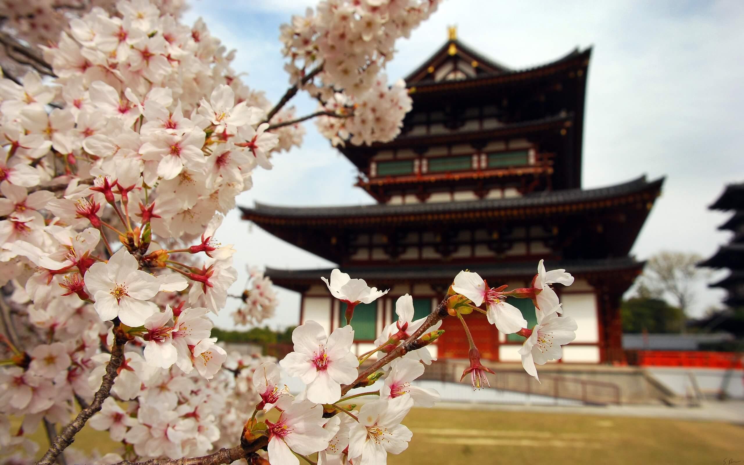 Zur Kirschblüte nach Japan